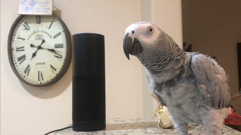 Petra the African Gray talks to Alexa through artificial intelligence